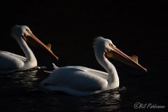 20190408-DSC_7369.jpg (GrandView Virtual, LLC - Bill Pohlmann) Tags: bird americanwhitepelican wisconsin wildlife waterfowl stcroixriver northhudsonwi