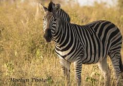 Zebra-Sabi Sand (moelynphotos) Tags: zebra africa animal animalwildlife blackandwhite blackwhite hoofedmammal mammal mpumalangaprovince sabisandsreserve safari southafrica lookingatthecamera striped safarianimals oneanimal horizontal nopeople moelynphotos