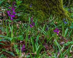 Early Purple Orchid (Orchis mascula) (BiteYourBum.Com Photography) Tags: blue dawnandjim dawnjim biteyourbum biteyourbumcom copyright©2019biteyourbumcom copyright©biteyourbumcom allrightsreserved uk unitedkingdom gb greatbritain england canoneos7d canonefs60mmf28macrousm canonmacrotwinlitemt26exrt apple imac5k lightroom6 ipadair appleipadair camranger lrenfuse focusstacking polaroidautofocusdgmacroextensiontubes manfrotto055cxpro3tripod manfrotto804rc2pantilthead loweproprorunner350aw westsussex sussex southdowns southdownsnationalpark focusstacked focusstack orchid flower flowers earlypurple orchis mascula earlypurpleorchid orchismascula wildflower wildflowers ebernoecommon ebernoecommonnationalnaturereserve ebernoe sussexwildlifetrust