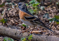 JWL1208  Brambling... (Jeff Lack Wildlife&Nature) Tags: brambling birds avian animal animals wildlife wildbirds wetlands woodlands wildlifephotography jefflackphotography farmland forest finch finches wintermigrant songbirds hedgerows countryside nature