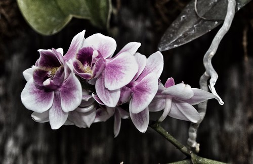 Sonnenberg Gardens & Mansion Historic Park ~ Purple Orchids ~ Canandaigua NY