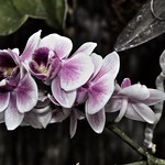 Sonnenberg Gardens & Mansion Historic Park ~ Purple Orchids ~ Canandaigua NY thumbnail