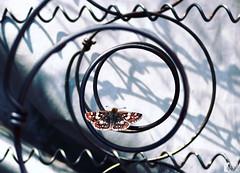 Captar el momento (danielcéspedes1) Tags: mariposa macro macrofoto animal cochabamba bolivia spiral butterfly wings alas color sombra luz light artistic