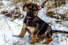 Hera as a puppy (Andi Fritzsch) Tags: puppy cute cutepuppy dogs dog doglovers animal animallovers nature naturephotography winter snow hera
