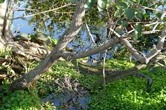 Two turtles and baby alligator - Wakodahatchee Wetlands, Delray Beach, FL - 1.19.19 (carissaconti) Tags: turtles alligator reptiles florida wakodahatchee delraybeach nature wildlife marsh swamp water