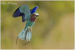 Angel Wings! (MAC's Wild Pixels) Tags: angelwings lilacbreastedroller coraciascaudatus roller bird birder birdwatcher birdperfect birdlife birdsofeastafrica birdlifephotography avian plumage feathers ornithology beautifulbird colourfulbird colourfulroller birdinflight animal wildlife africanwildlife wildafrica wildanimal wildbird wildlifephotography safari gamedrive outdoors outofafrica nature naturephotography masaimara maasaimaragamereserve kenya macswildpixels coth alittlebeauty coth5 ngc npc