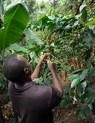 Kieni farmer Joshua Mutahi picking coffee on his shambas (Coffee Collective) Tags: kenya kieni coffee directtrade nyeri thecoffeecollective