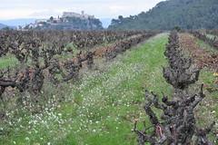 Sant Martí Sarroca (esta_ahi) Tags: santmartísarroca vinya viña viñedo vineyard vitisvinifera poda penedès barcelona spain españa испания