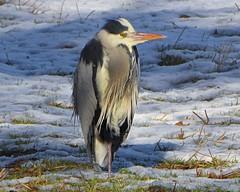 Heron in Snow1 (g crawford) Tags: heron greyheron commongreyheron bird crawford portencrossroad portencross westkilbride ayrshire northayrshire