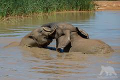 Elephants at play (fascinationwildlife) Tags: animal mammal wild wildlife water muddy elephant elefant africa afrika african juvenile addo park nature natur national winter wings south summer südafrika eastern cape southafrica afrikanischer play