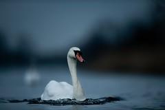 'Spirit of Norfolk' (Jonathan Casey) Tags: swan lake norfolk broads uk nikon d850 400mm f28 vr