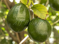 Alf Ribeiro 0270-65 (Alf Ribeiro) Tags: agribusiness agriculture alfribeiro brazil brazilian closeup rural agricultural avocado avocados background branch cultivation culture delicious diet environment exotic farm farming field food fresh fruit garden green group grove growing growth guacamole healthy ingredient leaf natural nature nutrition nutritious orchard organic plant produce raw ripe seasonal tree tropical vegan vegetable vegetarian