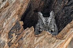 FGR_3560 (frodin78) Tags: ternscreechowl screech owl owls birds nature wildlife raptors birdsofprey