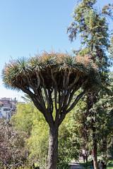 IMG_1330 (jaglazier) Tags: 122018 2018 cerrosantalucia chile december deciduoustrees santalucia santiago trees urbanism cities copyright2018jamesaglazier gardens parks