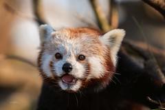 Red Panda (THW-Berlin) Tags: panda animals feuerfuchs kleinerpanda sony alpha6500 sigma 135mm tiere tierpark katzenbär