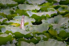 Pariscope (Mark Polson) Tags: mn plymouth animal bird greenheron lilypads