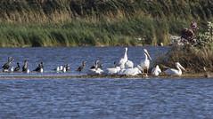 The Hangout (Polytelis) Tags: larusdelawarensis ringbilledgull pelecanuserythrorhynchos americanwhitepelican phalacrocoraxauritus doublecrestedcormorant bannermarsh birds nature