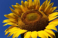 明野のひまわり畑 Akeno Sunflower (T.Muratani) Tags: 花 夏 山梨県 向日葵