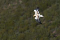 Vautour percnoptère (Tifaeris) Tags: accipitridés accipitriformes aragon egyptianvulture espagne neophronpercnopterus sarsamarcuello vautourpercnoptère bird oiseau