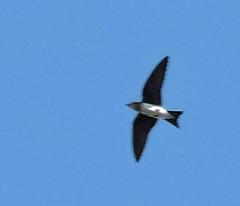 Swallow (asterisktom) Tags: chiapas mexico oaxaca 2019 march puertoescondido bird vogel ave 鸟 птица 鳥 pajaro swallow coastal mexico2019janmarch