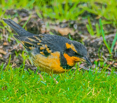 Varied Thrush--DSC9731--Port Orford, OR (Lance & Cromwell back from a Road Trip) Tags: birds thrush variedthrush lawn lawnbirds portorford currycounty oregon oregoncoast wildlife sony sonyalpha a57 tamron 150600mm tamron150600mmg2