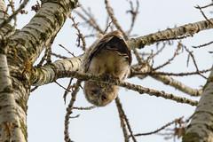 Juv. Tawny Owl just looking at me (Kees499  Nature pics) Tags: strixaluco bosuil takkeling keesmolenaar alblasserwaard d850 nikon juvenile holland uil birdofprey roofvogel