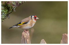 Goldfinch - (Carduelis carduelis)  'L' for large (hunt.keith27) Tags: cardueliscarduelis goldfinch woodland moss bird wing feather beak devon canon colourful highly coloured finch with bright red face yellow patch sociable thistles teasels animal eos7dmk2 fence stake
