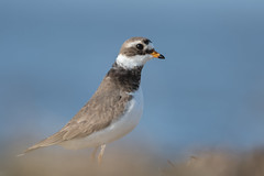 Ringed plover (JS_71) Tags: nature wildlife nikon photography outdoor 500mm bird new spring see natur pose moment outside animal flickr colour poland sunshine beak feather nikkor d500 wildbirds planet global national wing eye watcher