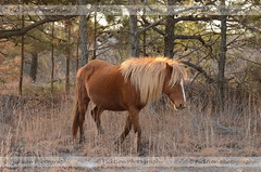 A Known Land (ficktionphotography) Tags: assateagueisland assateaguehorses maryland wildhorse wildpony wildlifephotography wildlife horse pony equine explore