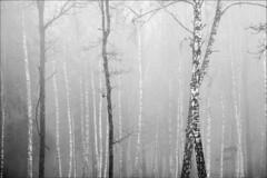 20181230. Fog. 7461 (Tiina Gill (busy)) Tags: estonia nature outdoor winter fog tree forest vanagram