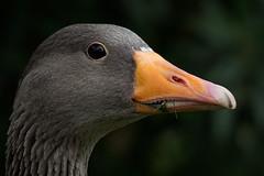 Perfil de pato (Piagor) Tags: pato aves olympusem5markii olympus75300mmf4867 ngc