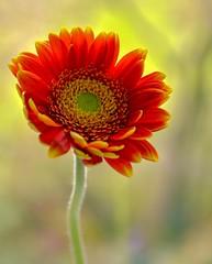 The Beloved (barbara_donders) Tags: natuur nature flower bloem red rood bokeh macro mooi prachtig beautiful magisch magical colorful kleurrijk