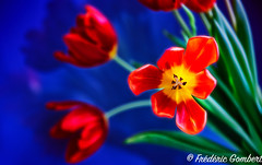 not soft (frederic.gombert) Tags: tulip flower bloom blossom light red blue color colors nikon flowers bunch winter