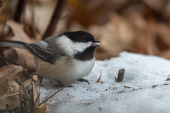 Chickadee-45350.jpg (Mully410 * Images) Tags: bird chickadee birding birdwatching birder birds backyard blackcappedchickadee