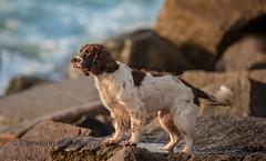 looking at water (Flemming Andersen) Tags: looking spaniel pet nature water dog cocker outdoor zigzag stones animal vestervig northdenmarkregion denmark dk