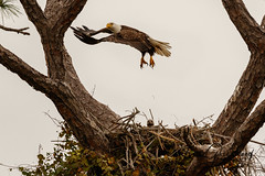 Momma flying In (Les Greenwood Photography) Tags: eagle basleagle nature bird wildlife nest young eaglets flying florida