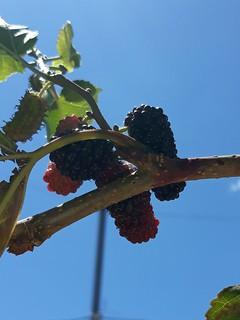 My raspberry plant.