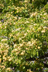IMG_8441 (jaglazier) Tags: 121318 2018 chile december deciduoustrees easterisland ranokau trees copyright2018jamesaglazier floweringtrees mimosa valparaisoregion