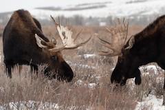 Getting ready.. (geraldineh.dutilly) Tags: moose winter wyoming usa jackson hole teton fight