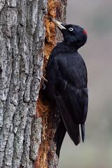a Black Woodpecker / un pic noir (1/2) (Franck Zumella) Tags: bird oiseau black noir woodpecker trunck tronc food nourriture wildlife sauvage vie nature animal pic tree arbre strike frapper