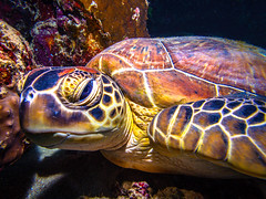 Turtle (Stefan Kruse) Tags: uw uwphotography uwphoto diving divephotography turtle water animal eyes portrait reef redsea marsashagra aquatic peace sleepy olympus stefankruse scuba