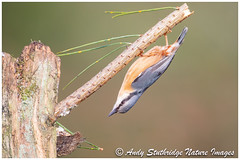 Sometimes Life Just Turns You Upside Down ! (www.andystuthridgenatureimages.co.uk) Tags: nuthatch upsidedown branch spruce log wood woodland bird animal tree acrobat hi