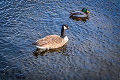 1 Feathered friends at the duck pond (Singing With Light) Tags: 2019 27thjanuary a7iii ct foudnersway milford mirrorless singingwithlight sonya7iii street sunday aroundmilford cloudy cool morning photography singingwithlightphotography sony walk
