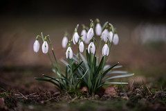 spring is coming (mkniebes) Tags: spring flower flora bokeh dof nature makroplanar2100 zeiss zf2
