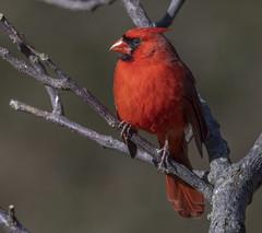 Shiny Beak (Yer Photo Xpression) Tags: bird animal 2019 ivyshaw northerncardinal ronmayhew canoneos6dmarkii red
