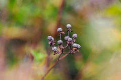 flame bokeh (Paul Wrights Reserved) Tags: berry berries bokeh flame plants botanical