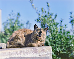 cat (428sr) Tags: pentax67 fujifilm pro400h 6×7 120 cat neko ねこ 猫