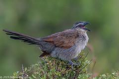 Angry.... (Duncan Blackburn) Tags: 2019 coucal kenya masaimara whitebrowed bird nikon nature wildlife ngc npc