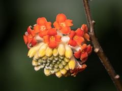 Edgeworthia chrysantha 'Red Dragon' (Maria-H) Tags: edgeworthiachrysantha reddragon bodnantgarden wales uk olympus omdem1markii panasonic 100400