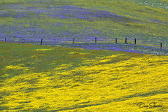Hwy 58 Tremblors 02 Small (Dave Skinner Photography) Tags: shell creek carrizo plain wildflowers bloom flowers 2019 spring bald eagle